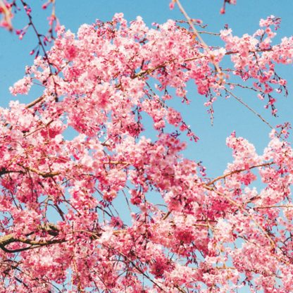 Back of the Sport 2010-2019 Discography, showing a tree with pink blossoms in front of a clear blue spring / summer sky.